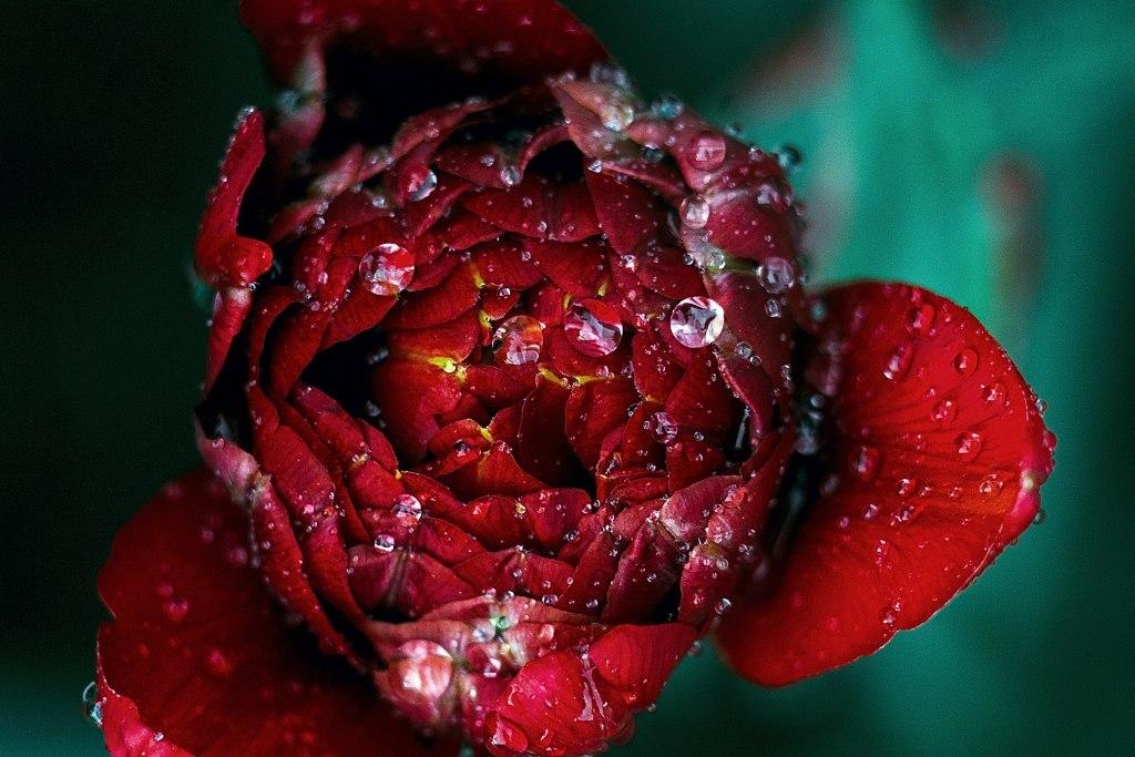 Red dew Roksolana Zasiadko WEB